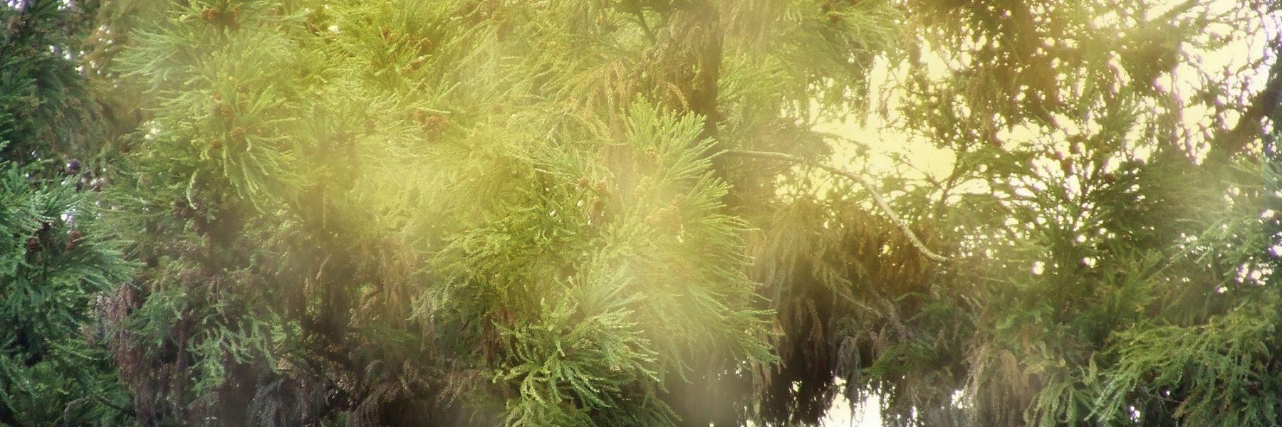 スギ花粉のイメージ画