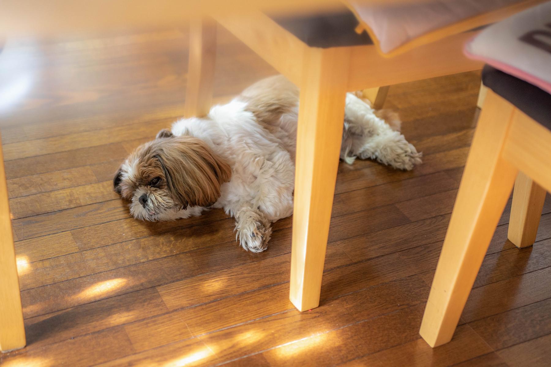 夏バテのイメージ写真で、椅子の下で寝転がる犬