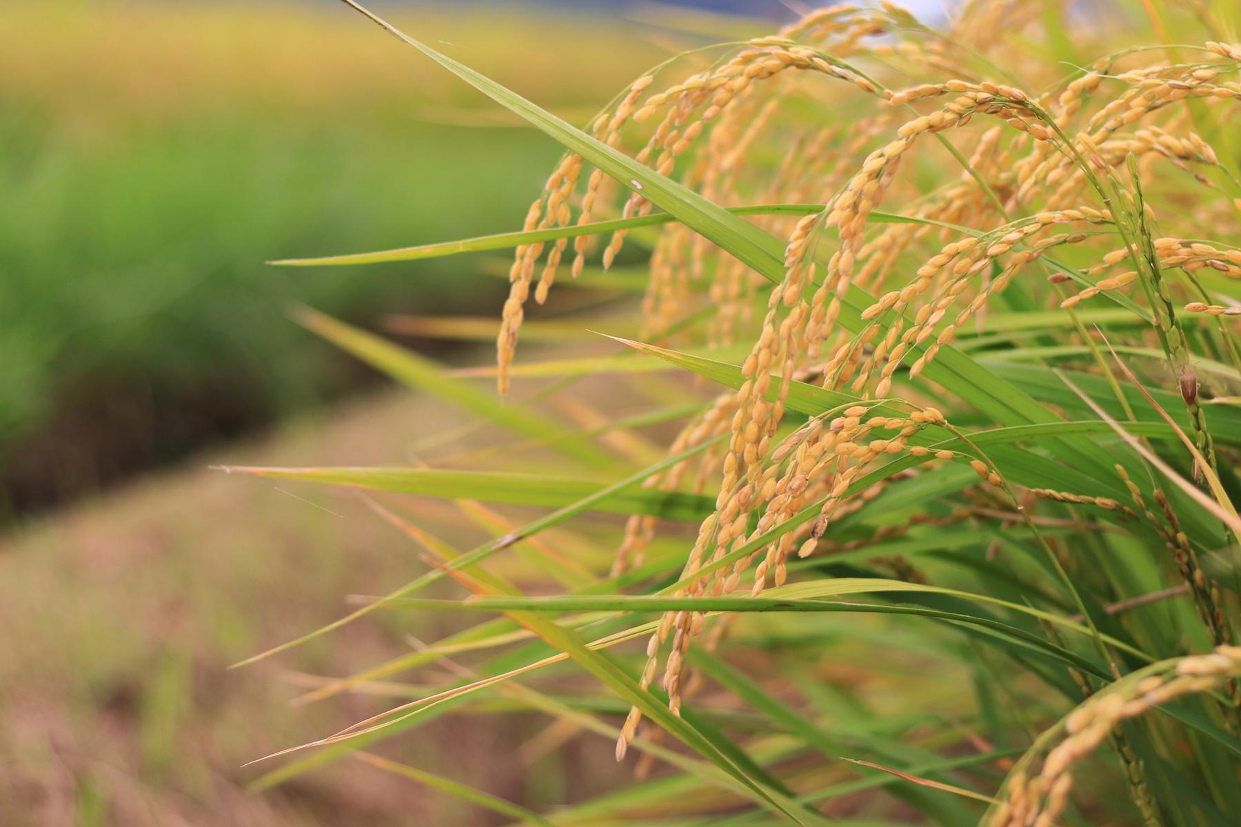 収穫前の稲穂の写真